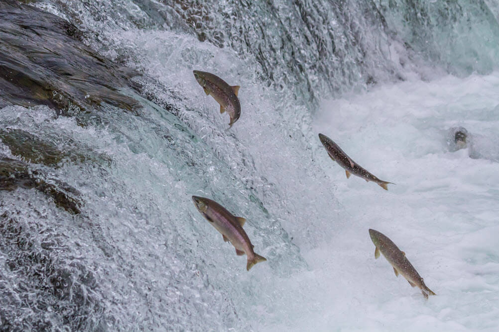 Modeling the Impact of Water Management Practices on Salmon
